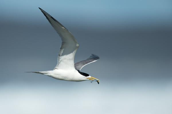 Gulls, Terns, Noddies and Skimmers