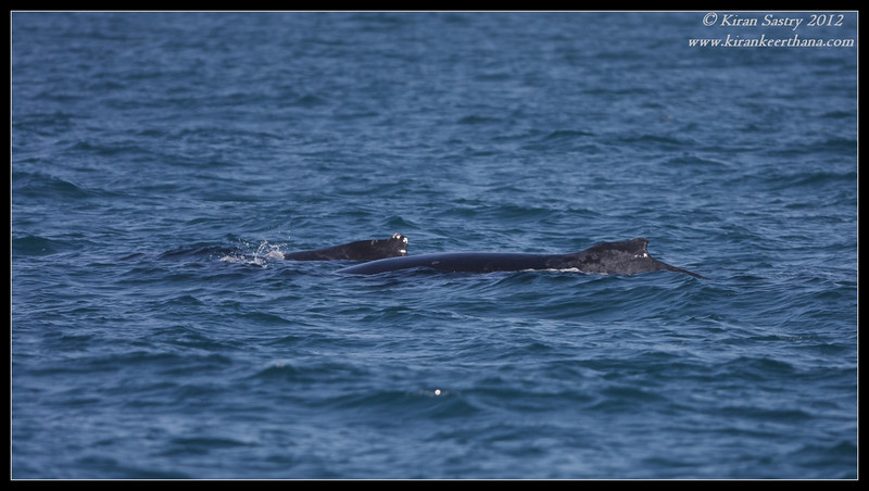 Two Humpback Whales, Whale watching trip, San Diego County, California, April 2012