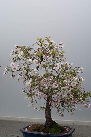 bonsai may 2014 in the garden