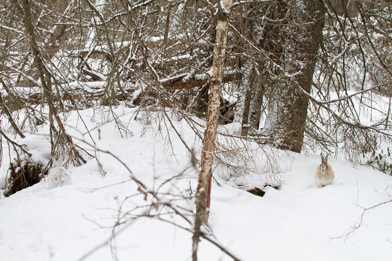 Snowshoe Hare Warren Nelson Memorial Bog Sax-Zim Bog MNIMG_0765.jpg