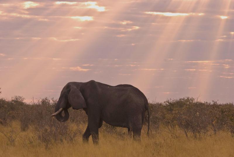 Copy of Aging Bull Elephant2.jpg