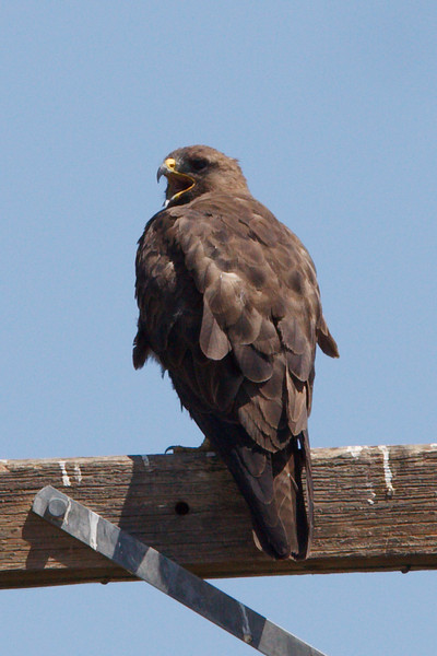 Swainson's Hawk dark morph adult (11) at Firebaugh, CA (07-18-2009)