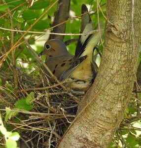2016-05-22 Dove Nest