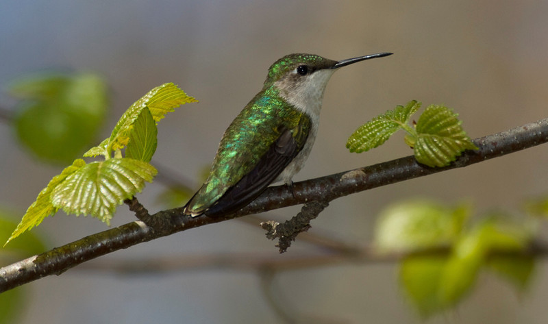 Ruby-throated Hummingbird female.jpg