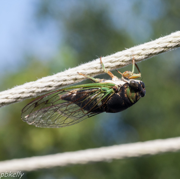 9/08.  This Cicada roosts on my clothesline sometimes.