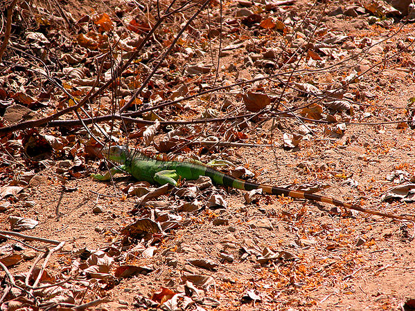 Green Iguana - on hilside road just outside Melaque. This guy was at least 2 feet long.