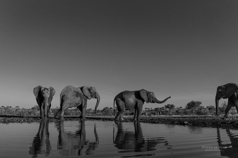 African Elephant, b&w, Mashatu GR, Botswana, May 2017-4.jpg