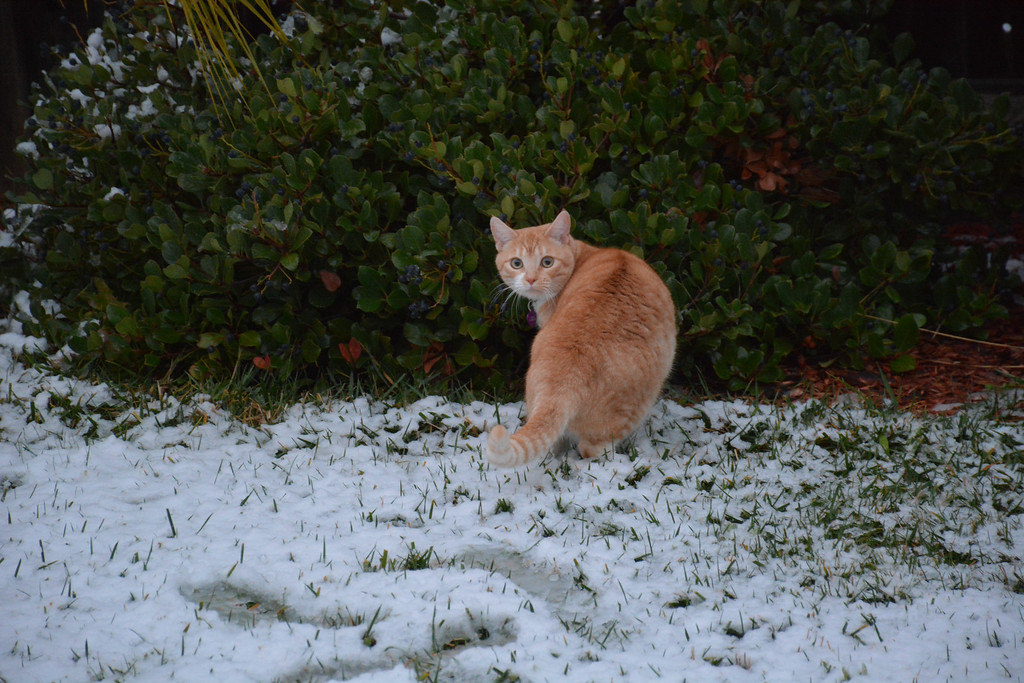 . A cat plays in the snow in a Murrieta, California neighborhood following a storm that dropped several inches of snow across the Inland Empire. (Photo courtesy of Jerry Rice)