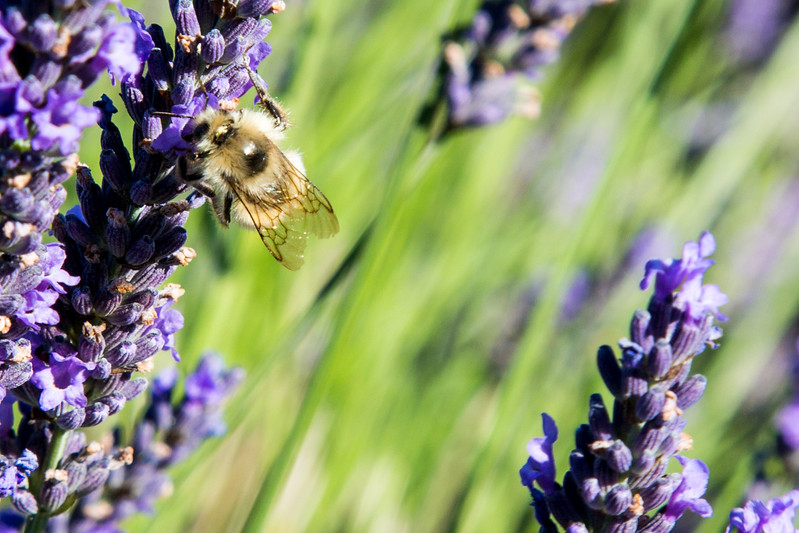 Evergreen Lavender Farm-23.JPG