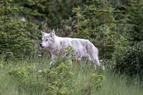 7-8-20 White Wolf Second Visit IKC