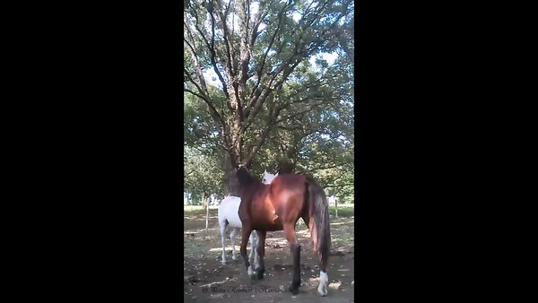 20120828: Grooming under the big trees - captured with cell phone