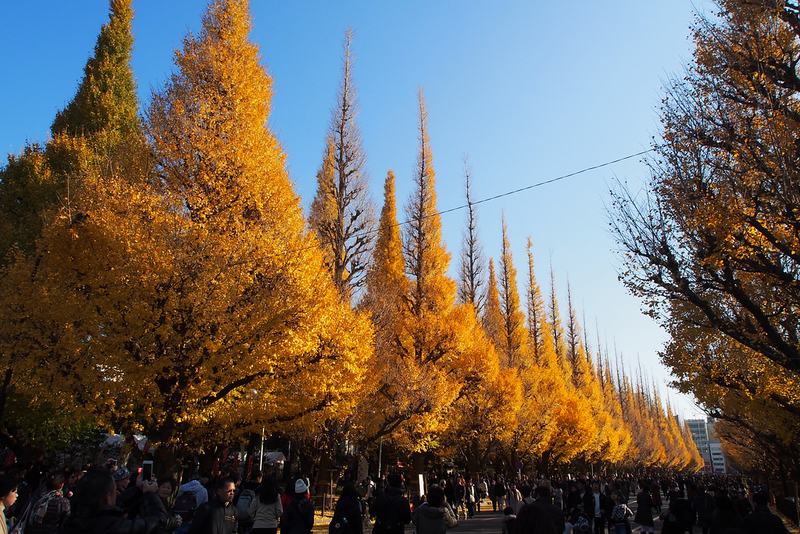 Fall Foliage at Jingu Gaien Icho Namiki