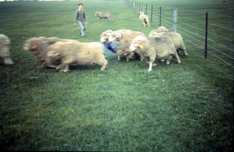 1965-10-3 (15) Peter Swan with rams.JPG