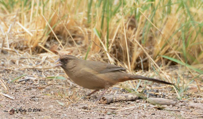 Abert's Towhee - 4/19/2014 - San Pedro Riparian National Conservation Area, Sierra Vista, Az