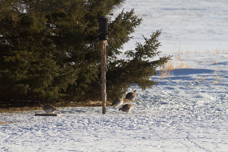 Sharp-tailed Grouse Racek farm CR29-229 Sax-Zim Bog MN-0179.jpg