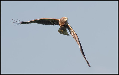 Bruine Kiekendief/Western March Harrier