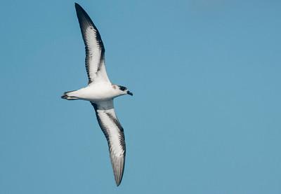 gulls, terns, skimmer, seabirds
