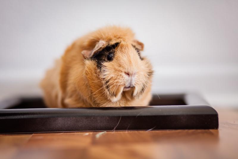 Ginea Pigs-26.jpg