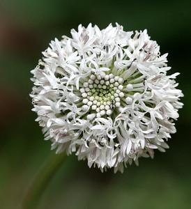 Marshallia obovata (Asteraceae)