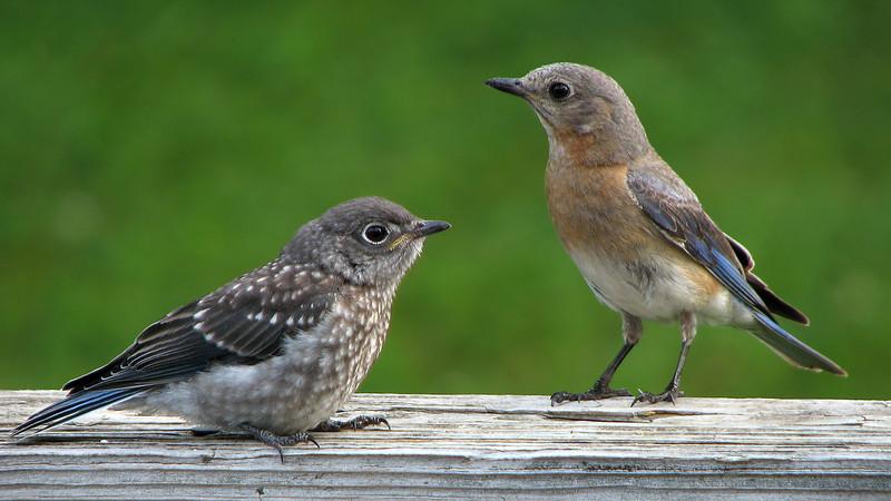 bluebird_fledgling_4569.jpg