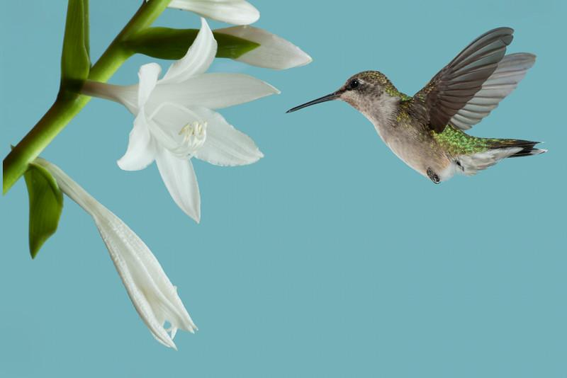 Hummingbirds 2014