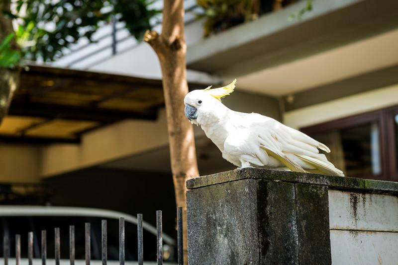 Pet Cockatoo