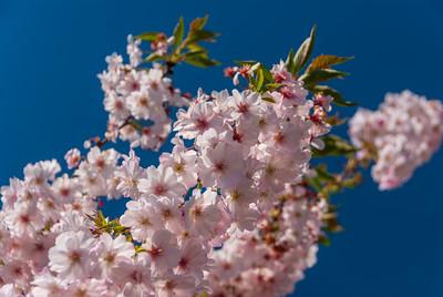 Autumnalis Rosea Flowering Cherry - Prunus subhirtella 'Autumnalis Rosea'