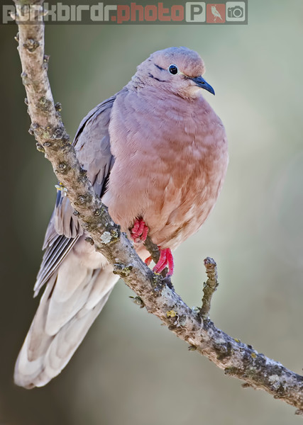 Eared Dove (Zenaida auriculata)