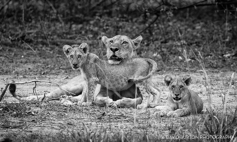 Bili_Lion-n-cubs_9129cc2fx-blknwht-web.jpg