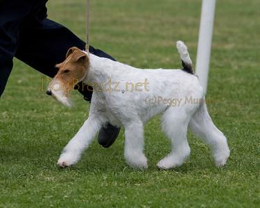 RHKC 2011 - Fox Terriers Wire