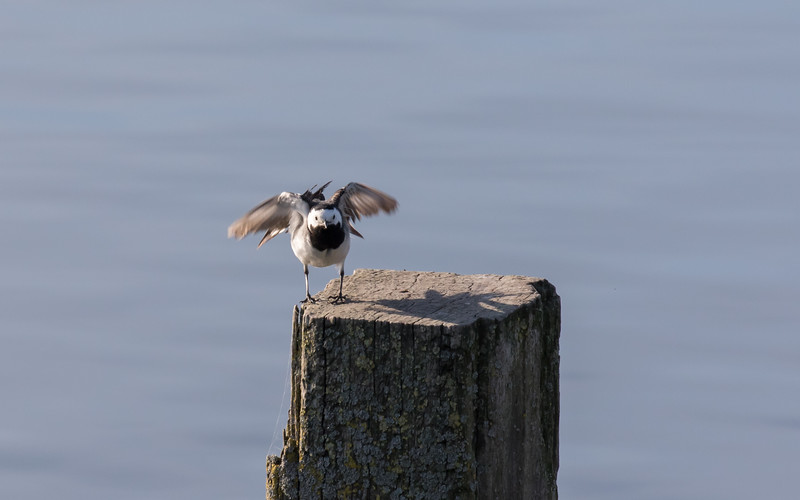 rouwkwikstaart, pied wagtail