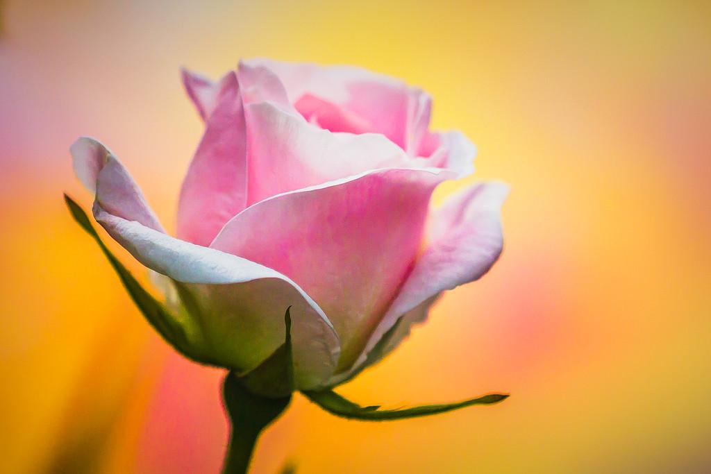 玫瑰花,美丽动人