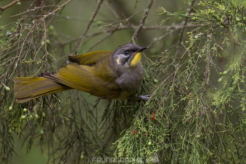 Yellow-throated Honeyeater