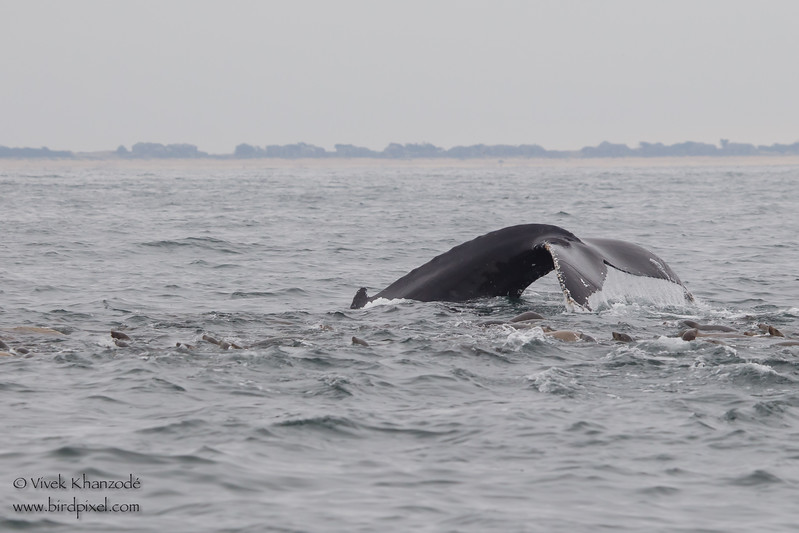 Humpback Whale diving with California Sea Lions- Near Moss Landing, CA, USA
