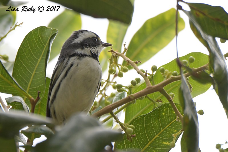 Black-throated Gray Warbler - 11/12/2017 - Bayside Park, J street Marina