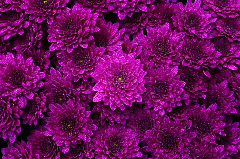 Purple Mum Pattern