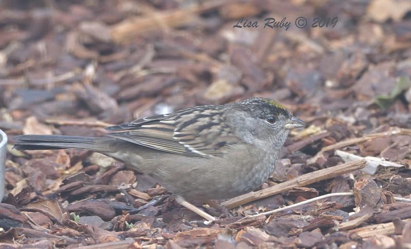 Golden-crowned Sparrow - 11/6/2019 - Backyard, Sabre Springs