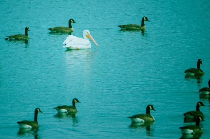 9.25.18 - Blackburn Creek Fish Nursery: White American Pelican, Canada Geese