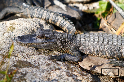 St. Augustine Alligator Farm, Florida