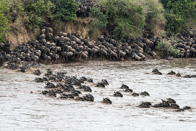 The Great Wildebeast Migration