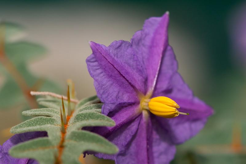 Solanum pycacanthum