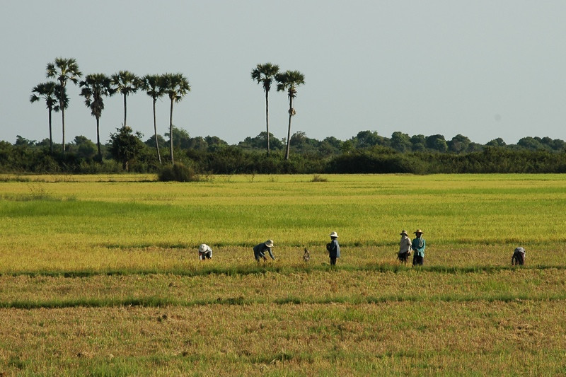 People Working on Rice Fields - Siem Reap, Cambodia