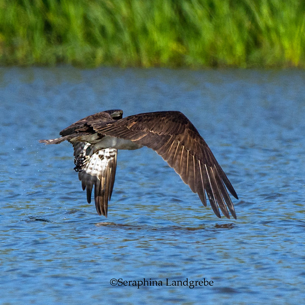 _DSC3281Osprey fishing.jpg