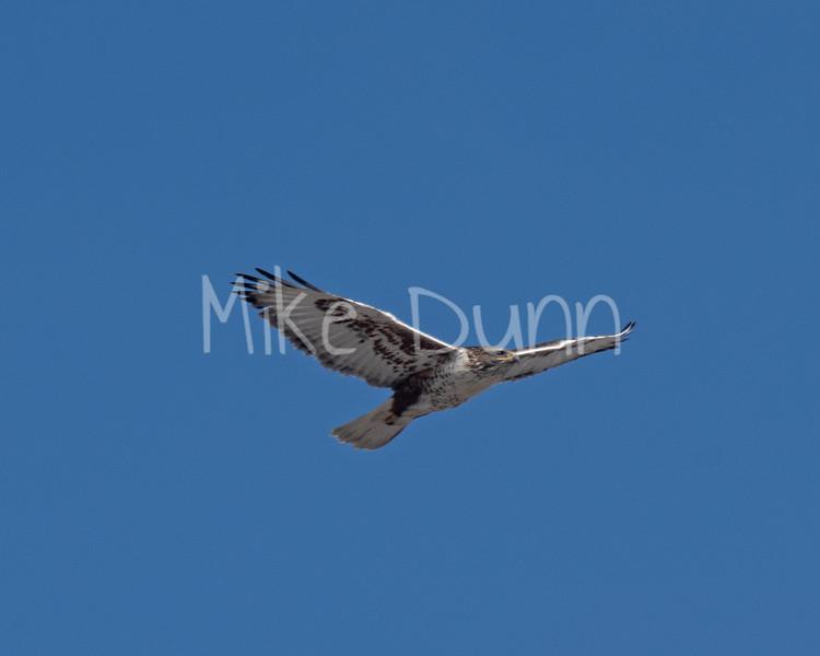 Ferruginous Hawk-17