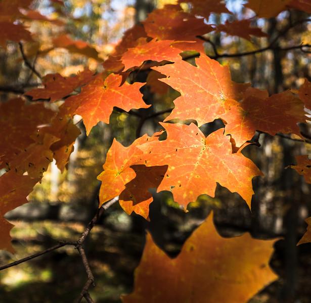 Autumn Leaves at the Nan Weston Preserve