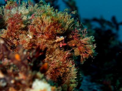 Oregonia gracilis (decorator crab)
