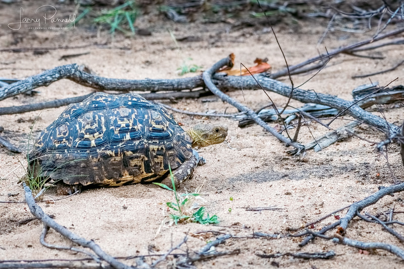 Leopard Tortoise - South Africa