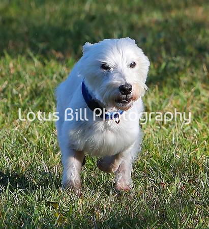 West Highland Terrier SR31