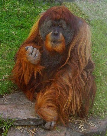 Apes & Monkeys