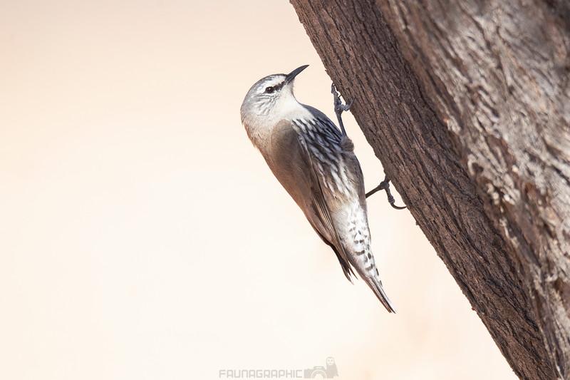White-browed Treecreeper